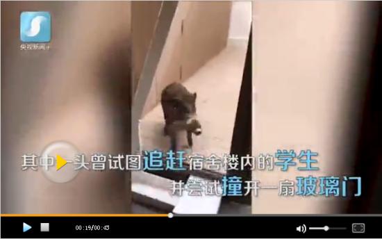 日本野猪进入私立学院 吓得学生不敢出门