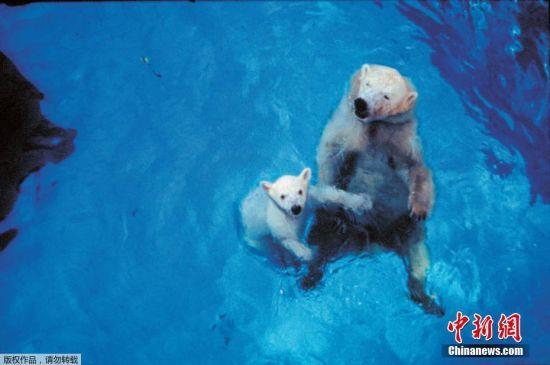 作为世界上首只在热带出生的北极熊,它是新加坡动物园的人气明星之