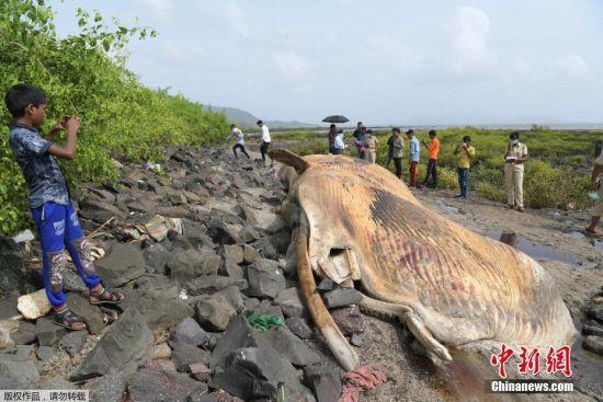 6号平台信誉怎样:12米长鲸鱼搁浅_民众在海滩忙拍照