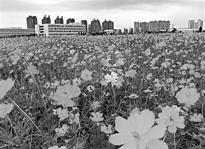 沈北新区千亩花海静待观赏 乘地铁免费赏花