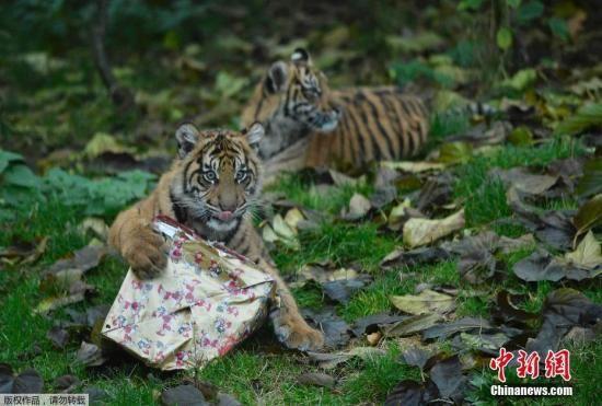 """伦敦动物园霸气小老虎""""怒拆""""圣诞礼物"""