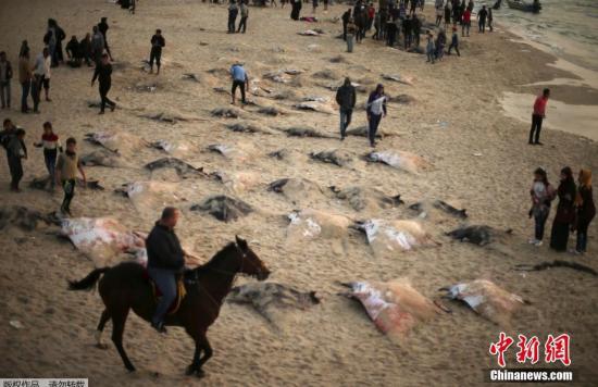 解除巴勒斯坦出海禁令 巴勒斯坦渔民捕获魔鬼鱼铺满海滩(组图)
