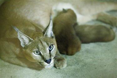沈森林动物园迎来 两只新生的小狞猫