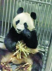 四熊猫在沈会合 现每只单独饲养