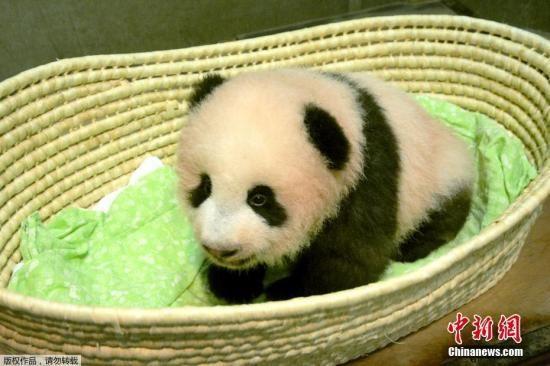 大熊猫香香人气高涨 日本动物园入园人数破400万