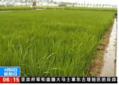 大范围试种海水稻