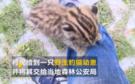 萌化了!获救小豹猫黏着警察叔叔要抱抱