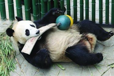 """大熊猫""""浦浦"""" 是这样减肥的"""