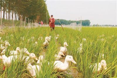 玉米稻苗简笔画