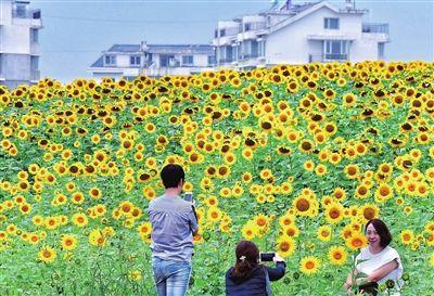 位于沈阳市沈北新区的道义核心区新增花海景观,沈北多了一处美景.