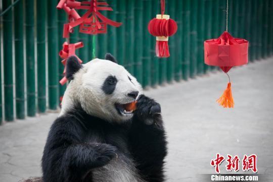 """四只大熊猫在沈阳品东北味""""年夜饭"""""""