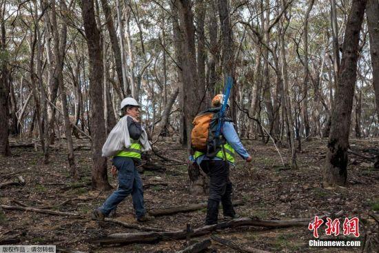 生�B�h境恢(hui)�� 澳大利��山火中�@救考拉重回森林